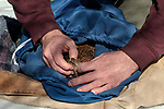 New Hampshire Fish and Game biological technician conducts a physical exam of a trapped New England cottontail rabbit inside the Great Bay National Wildlife Refuge.