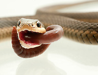 Eastern Garter Snake.Thamnophis Sirtalis Sirtalis. Eating a delicious earthworm.