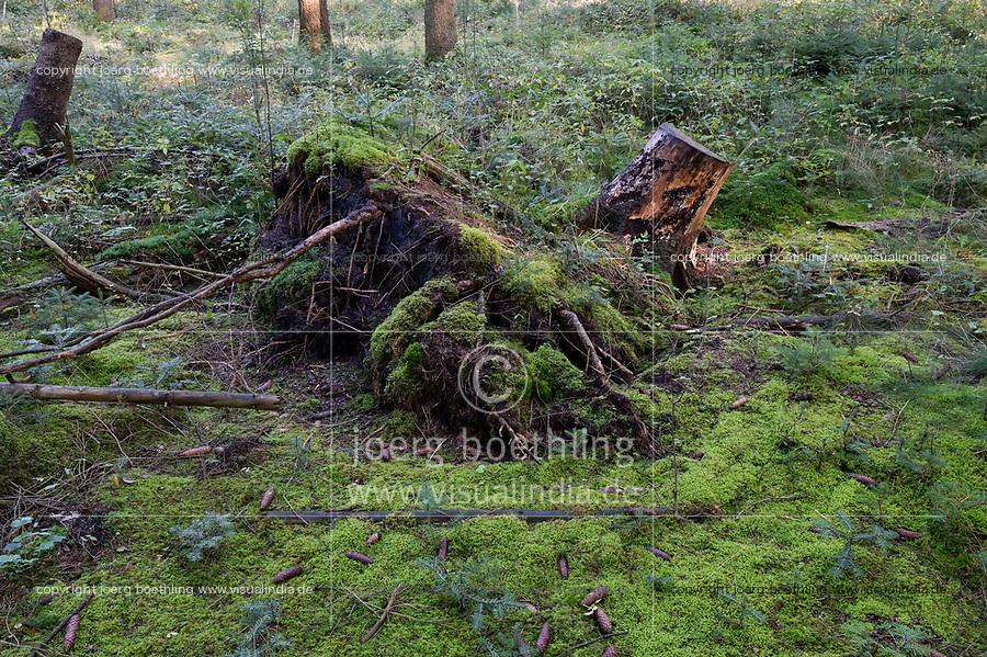 GERMANY, lower saxonia, Forest, fir with Bark beetle infestation and storm damage / DEUTSCHLAND, Niedersachsen, Fichtenwald, Holzernte nach Borkenkäferbefall und Sturmschäden