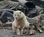 IT'S A POLAR-OID.  GET READY FOR A POLAR SNAP......<br /> <br /> Pictured: Sequence 1 of 9:  The polar bear with the camera trap on a log.<br /> <br /> A curious young polar bear plays with a camera.  The cub found the hidden camera placed by photographers and began to explore the wonders of photography himself.<br /> <br /> Photographers are prohibited from getting too close to the bears, as it could affect their behaviour, so will sometimes use hidden cameras operated remotely or triggered by movement sensors.  These pictures were taken in Kaktovik, Alaska, where there is an estimated 3,000 wild polar bears.  SEE OUR COPY FOR DETAILS.<br /> <br /> Please byline: Shayne McGuire/Solent News<br /> <br /> © Shayne McGuire/Solent News & Photo Agency<br /> UK +44 (0) 2380 458800