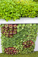 Sempervivum succulents vertical planting in wall, growing plants upward in unusual way sideways, with herbvs at top