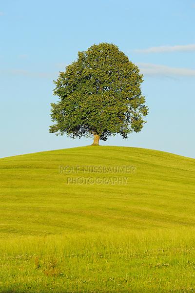 Linden tree (Tilia sp.), tree in summer, Switzerland, Europe
