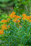 Butterfly weed growing on the roadside in northern Wisconsin. A monarch caterpillar is on the plant.