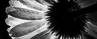 Backlit Gerbera flower.