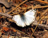 Male laviana white-skipper