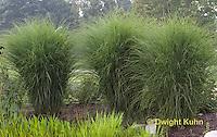 GR09-500z  Ornamental Grasses in Perennial Garden, Miscanthus sinensis