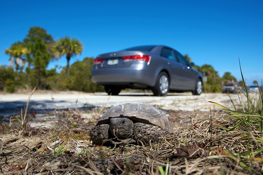 One of the greatest threats to the endangered gopher tortoise is street traffic.  When drivers slow down these adorable critters are easy to avoid!<br /> <br /> Learn more:<br /> http://myfwc.com/wildlifehabitats/managed/gopher-tortoise/