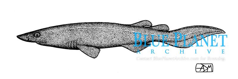 Bramble shark, Echinorhinus brucus, embryo, pen and ink illustration.
