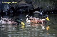 DG08-052z  Mallard Duck - male - Anas platyrhynchos