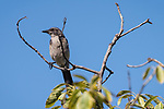 Valley Center, San Diego, California; a Western Scrub Jay perched on the top branches of a citrus tree against a blue sky in afternoon sunlight