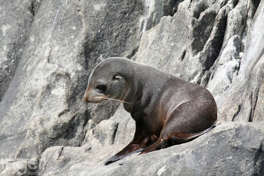 New Zealand Fur Seal Pup on the Hippolyte Rocks, Tasman Peninsula, Tasmania