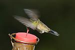 BROAD BILLED HUMMINGBIRD, CYNANTHUS LATIROSTRIS