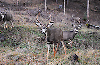 Montana mule deer buck in the Kootenai National Forest surrounded by his harem.