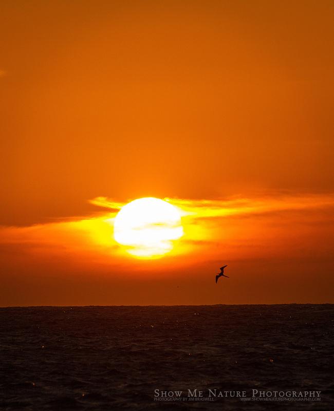 Baja sunset with Magnificent Frigatebird
