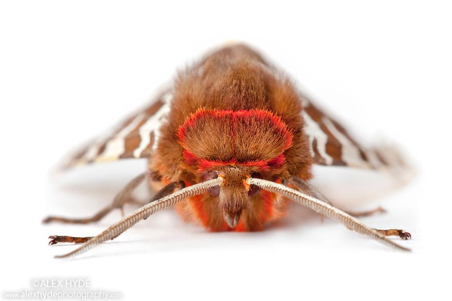 Garden Tiger moth {Arctia caja} photographed on a white background. Pembrokeshire, UK. July.