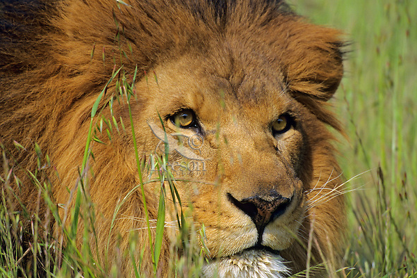 African lion (Panthera leo) male intensely watching for prey.
