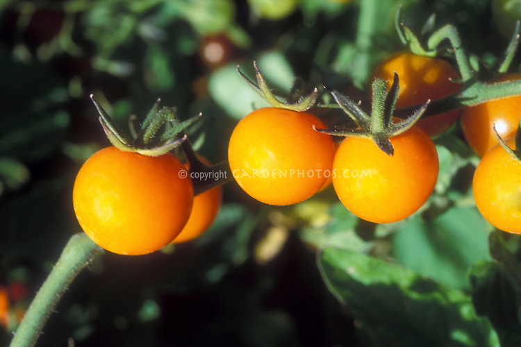 Tomatoes Sun Gold very similar to cherry tomato Floragold, growing on vine plant, a orange gold colored vegetable variety with lots of fresh antioxidants