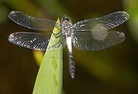 Frosted Whiteface (Leucorrhinia frigida) Dragonfly - Male, Pharaoh Lake Wilderness Area, Ticonderoga, Essex County, New York