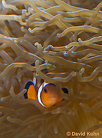 0321-1108  False Percula Clownfish (Ocellaris Clownfish), Amphiprion ocellaris, with Bulb-tipped Anemone, Entacmaea quadricolor  © David Kuhn/Dwight Kuhn Photography