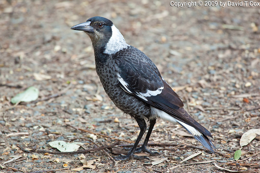 Australian Magpie, Neranie Bay, Myall Lakes, NSW, Australia