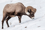 Male (ram) Rocky Mountain Bighorn Sheep (Ovis canadensis canadensis) searching for grazing beneath deep snow. Lamar Valley, Yellowstone National Park, Wyoming, USA. January