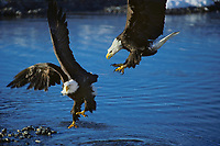 Bald eagles (Haliaeetis leucocephalus) fighting over spawned out salmon.  Eagles love to steal food from one another.  Northwest River.