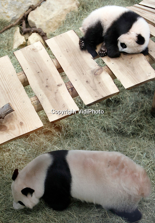 Foto: VidiPhoto<br /> <br /> RHENEN – Voor het eerst in zijn leven mocht de zeven maande oude jonge reuzenpanda Fan Xing van Ouwehands Dierenpark in Rhenen uit zijn kraamhok. Hoewel de levende 'knuffel' ook naar buiten kon, was dat donderdag een stap te ver. Iedere stap was trouwens te ver, want het dier liet zich donderdagmorgen tijdens het persmoment vooral slapend zien. Een korte wandeling op een houten brug tijdens de twee uur durende presentatie en dat was het dan. 's Middags mochten de abonnementhouders een kijkje nemen en vrijdag wordt het pandbeertje getoond aan het grote publiek. Fan Xing is op 1 mei geboren en was toch nu toe alleen voor bezoekers te zien via een webcam. Bezoekers  kunnen nog ongeveer drieënhalf jaar genieten van de speelse beer. Hij mag namelijk maximaal vier jaar in Nederland blijven voordat hij teruggaat naar China om daar verder bij te dragen aan het internationale fokprogramma van deze bedreigde diersoort.