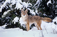 Coyote (Canis latrans) in snow.  Western U.S., winter.