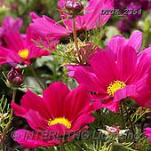 Gisela, FLOWERS, BLUMEN, FLORES, photos+++++,DTGK2354,#F#, EVERYDAY