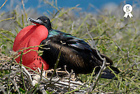 Side view of Great Frigate bird (Frigata minor) in shrub, close up (Licence this image exclusively with Getty: http://www.gettyimages.com/detail/74583318 )