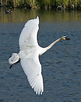 Trumpeter Swan in flight, National Elk Refuge, Jackson, WY