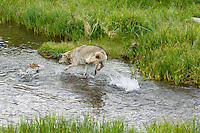 Wild Coyote (Canis latrans) chasing (trying to catch) spawning cutthroat trout.  Western U.S.