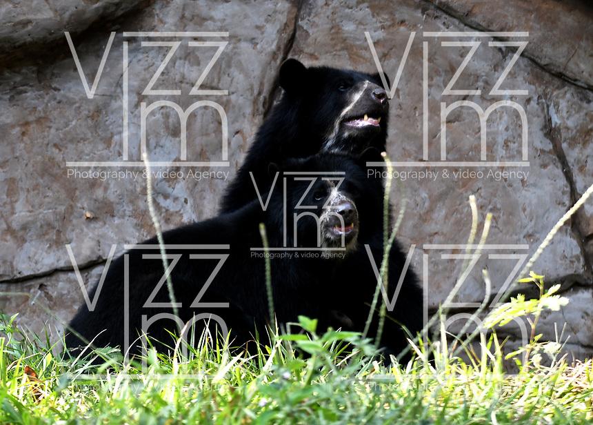 CALI - COLOMBIA - 27 - 09 - 2017: Osos de Anteojos (Tremarctos Ornatus), especie de oso en el Zoologico de Cali, en el Departamento del Valle del Cauca.  / Osos de Anteojos (Tremarctos Ornatus), bear species at the Cali Zoo, in the Department of Valle del Cauca. / Photo: VizzorImage / Luis Ramirez / Staff.
