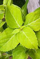 Hydrangea macrophylla 'Lemon Daddy' foliage in summer