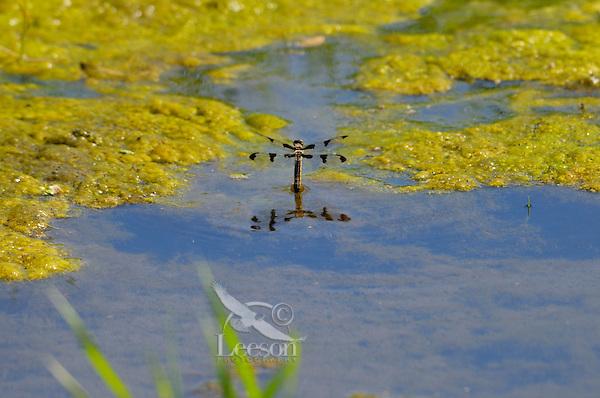 Female Twelve-spotted Skimmer (Libellula pulchella) depositing eggs in pond.  Pacific Northwest, Summer.