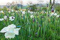 Jardin de la Ferme du Mont des Récollets: prairie plantées de plantes bulbeuses avec<br /> narcisses blanc 'Mount Hood'<br /> narcisses cyclamineus 'Jack Snipe'(blanc à coeur jaune, plus petit), narcisses triandus'Thalia'(blanc tardif),<br /> fritillaires Uva-vulpis // France, garden of Ferme du Mont des Récollets, prairie with bulbous plants including narcissus, Fritillaria uva-vulpis