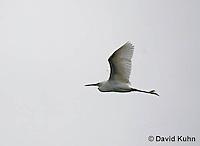 0202-08nn  Flying Snowy Egret,  Egretta thula © David Kuhn/Dwight Kuhn Photography