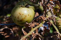 Closeup of dead tomato leaves and a brown spotted green tomato on a diseased tomato plant.