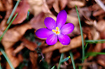 In many places, crocus blooms are among the first flowers of the season.