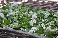Weißdorn trocknen, Weissdorn trocknen, Weissdornblüten-Trocknen, Weißdornblüten-Trocknen, trocknen der Blüten vom Weißdorn auf einem Tablett, Weißdorn-Blüten, Weißdornblüten, Weissdorn-Blüten, Weissdornblüten, Eingriffliger Weißdorn, Eingriffeliger Weißdorn, Weissdorn, Weiß-Dorn, Weiss-Dorn, Hagedorn, Crataegus monogyna, hawthorn, common hawthorn, oneseed hawthorn, single-seeded hawthorn, English Hawthorn, May, L'Aubépine monogyne, L'Aubépine à un style