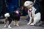 © Joel Goodman - 07973 332324 . 20/11/2014 . Kent , UK . Dogs dressed with UKIP rosettes in front of the UKIP shop on High Street , Rochester . The Rochester and Strood by-election campaign following the defection of sitting MP Mark Reckless from Conservative to UKIP . Photo credit : Joel Goodman