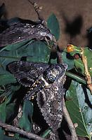 Endangered native Aiea hawk moth (Manduca blackburni), originally found on all islands