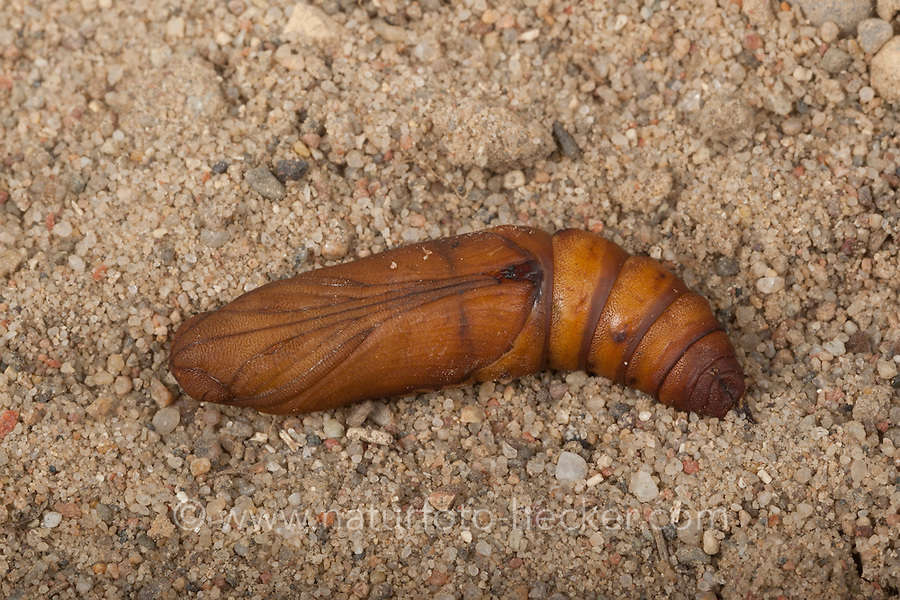 Linienschwärmer, Linien-Schwärmer, Puppe, Hyles livornica, Celerio lineata, striped hawk-moth, pupa, pupae, Le Sphinx livournien, Schwärmer, Sphingidae, hawkmoths, hawk moths, sphinx moths, sphinx moth, hawk-moths, hawkmoth
