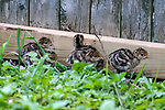 5 day old Eastern wild turkey poults walks through backyard garden under the close eye of her mother.