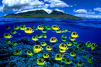 Schooling raccoon butterflyfish Chaetodon lunula color the foreground below the West Maui MountainsHawaii Fish fishes school group reef hard coral ocean combined digital composite split half and half pacific tropical scene coral fish
