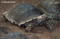 0218-1101  Asian Forest Tortoise (Burmese Black Tortoise), Found Northeast Taiwan to India, Manouria emys phayrei  © David Kuhn/Dwight Kuhn Photography
