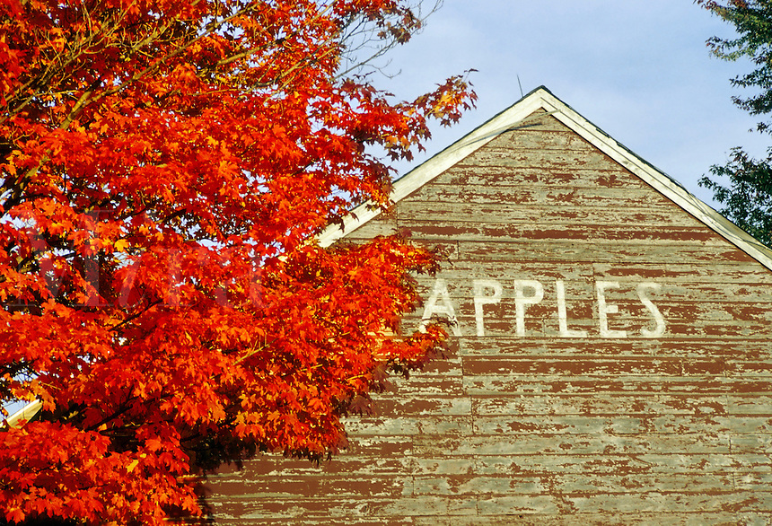 """Northampton, Massachusetts.Brilliant color and """"apples"""" say autumn in New England"""