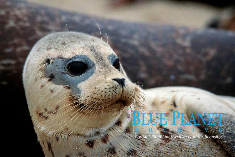 juvenile harbor seal, Phoca vitulina, La Jolla, California ( E.Pacific Ocean )