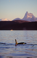 Killer whale Orcinus Orca on surface in Fjord, Tysfjord, Arctic Norway