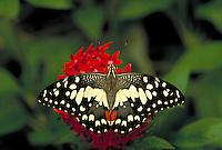PAPILIO DEMOLEUS, Checkered Swallowtail Butterfly, nectoring on red PENTAS LANCEOLATA.                            subfamily - Papilioninae;   family - Papilionidae; order - Lepidoptera;      class - Insecta;    p hyllum - Arthropoda;     kingdom - Anima